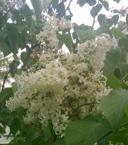 White Lilacs 1 crop